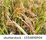 rice tree nature rice fields.... | Shutterstock . vector #1554898904