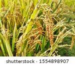 rice tree nature rice fields.... | Shutterstock . vector #1554898907
