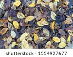 Newly Fell Yellow Leaves On Old ...