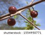Large Form Of Fruit Of Ziziphus ...