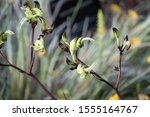 Green Kangaroo Paws In The Park