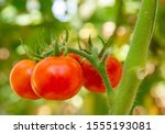 Four Round Red Ripe Tomatoes...