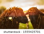Brown Wool  Black Faced Sheep...