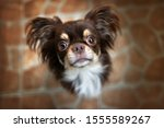 Adorable Chihuahua Dog Portrait ...