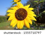 Yellow Sunflower In Front Of...