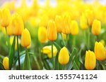 Spring Blossoming Yellow Tulips ...