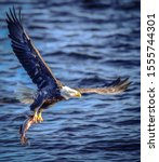 Bald Eagles Flying And Hunting...