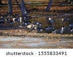 Family Of Canada Geese Hang Ou...