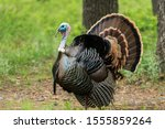Wild Rio Grande Turkey...