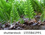Fern Sprout Bush Breeds On The...