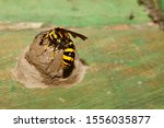 Yellow And Black Potter Wasp Or ...