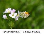 A Male Orange Tip Butterfly ...