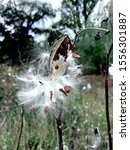 Small photo of Syrian stoop, or Aesculapian grass, or Milky grass, or Swallow grass. Type species of the genus Vatochnik, Kutrov family. Latin name:Asclepias syriaca.