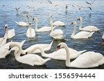 Swans And Seagulls   Serbia ...