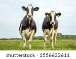 Two Black And White Cows...