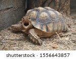 Stock photo close up african spurred tortoise resting in the garden slow life africa spurred tortoise 1556643857