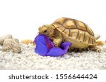 Stock photo close up african spurred tortoise resting in the garden slow life africa spurred tortoise 1556644424