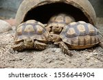 Stock photo close up african spurred tortoise resting in the garden slow life africa spurred tortoise 1556644904