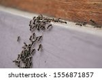 Black Garden Ant Activity. Als...