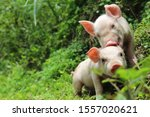 Two Cute Piglets Tease...