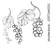 vector grape berry healthy food.... | Shutterstock .eps vector #1557164231