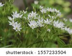 White Star Flowers Of...