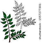 delicate hand drawn green olive ...   Shutterstock .eps vector #1557277301