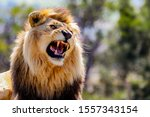 Roaring Male Lion With...