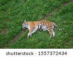 Tiger Sleeping On A Rainy Day