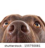 A Brown Labrador Nose Close Up...