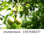 Immature Pear And Leaves Hang...
