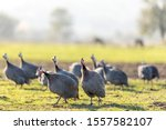 Small photo of View of the guinea fowls (hen) or iranian fowls. Guineafowl are birds of the family Numididae in the order Galliformes. They are endemic to Africa and rank among the oldest of the gallinaceous birds.