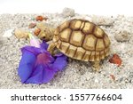 Stock photo close up african spurred tortoise resting in the garden slow life africa spurred tortoise 1557766604