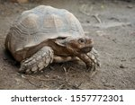 Stock photo close up african spurred tortoise resting in the garden slow life africa spurred tortoise 1557772301