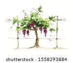 Vineyard   Grape On The Trellis ...