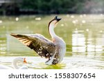 African Goose Flapping Wings I...