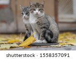 Stock photo two small cute kitten sitting on the pavement with yellow maple fallen autumn leaves 1558357091