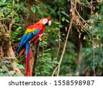 The Scarlet Macaw Is Regarded...