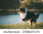 Tricolor Rough Collie  Funny...