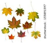autumn maple leaves isolated on ... | Shutterstock . vector #155891597