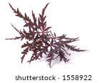 maple leaf | Shutterstock . vector #1558922