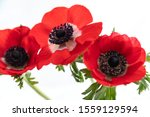 Three Red Anemone Flowers On...