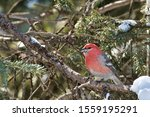 Red Headed House Finch Perched...