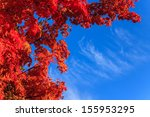 Autumn Maple Leaves With The...