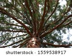 A Redwood Tree Photographed...