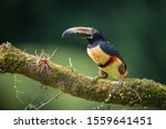 Pteroglossus torquatus, The collared aracari The bird is perched on the branch in nice wildlife natural environment of Costa Rica