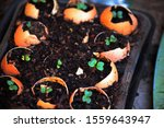 Emerging Green Seedlings In An...