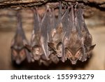 bats hang from the ceiling of a ... | Shutterstock . vector #155993279