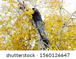 hoizontal image of a man standing on a tall step ladder trimming tree branches  with yellow leaves off his trees in the fall time - stock photo