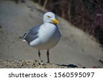 Stock photo single european herring gull on heligoland island dune north beach larus argentatus 1560595097